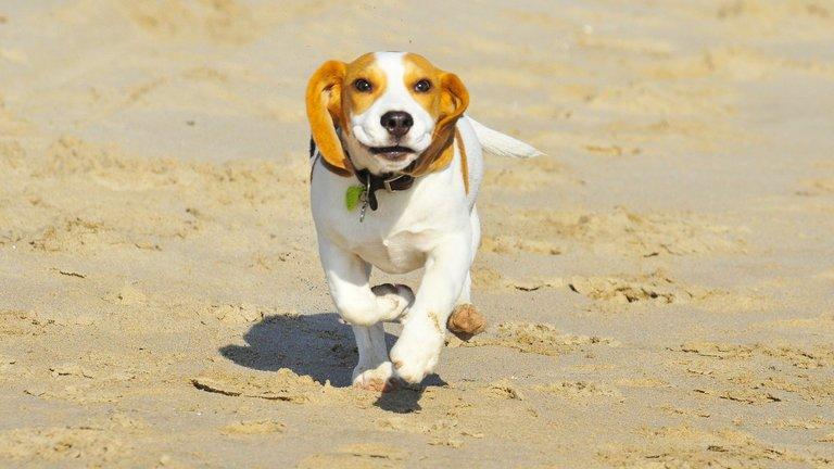 Beagle exercise