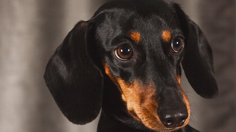 The Dachshund - all about the breed