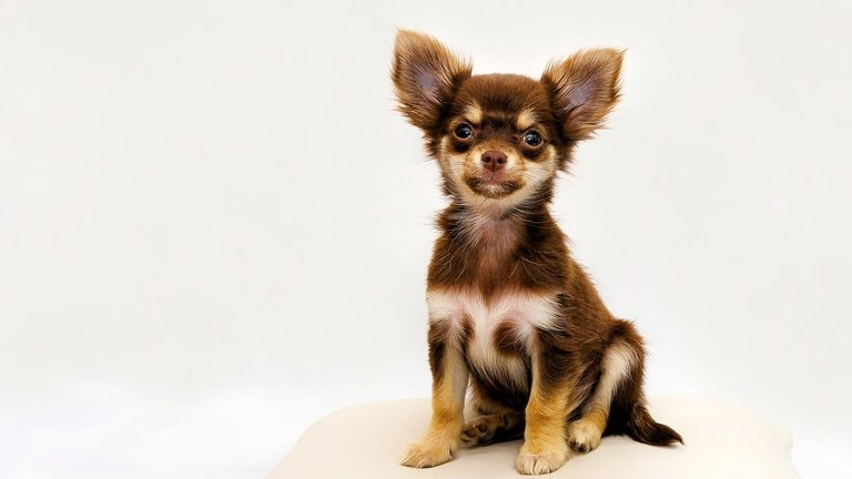 The Chihuahua lifespan