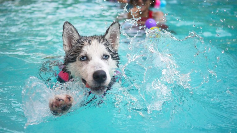 Dog swimming in pool avoids heat stroke
