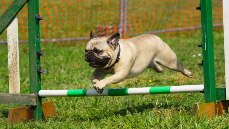 Pug dog in canine sports