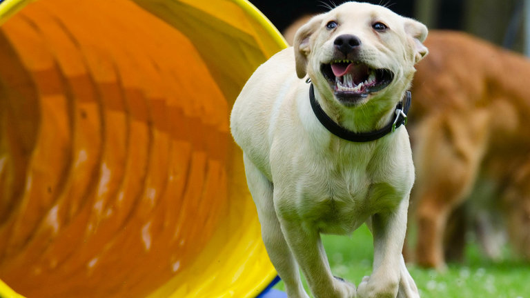 Dog Agility - an obstacle race for dogs