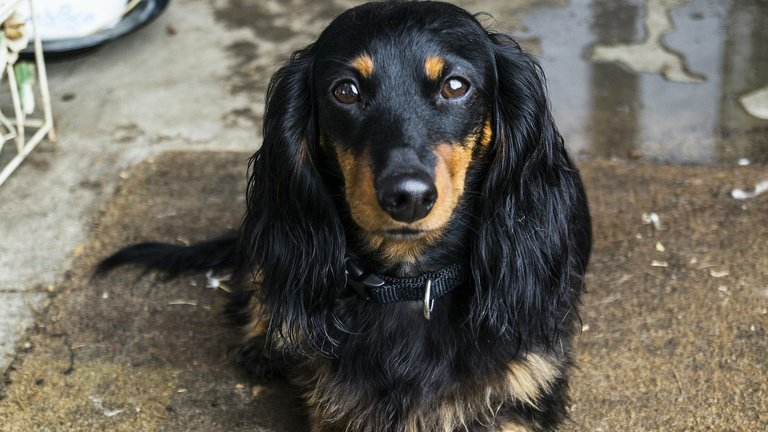 Long haired Dachshund