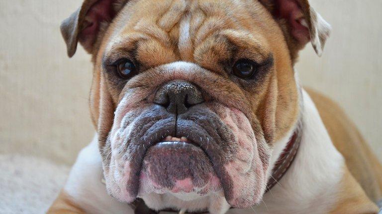 Bulldog - British Icon