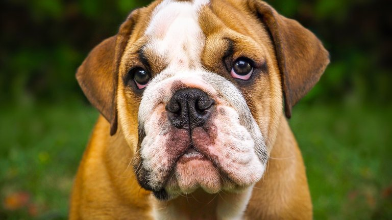The Bulldog - all about the breed