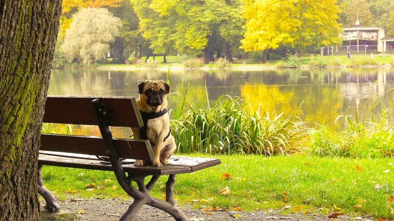 Pug dog in park